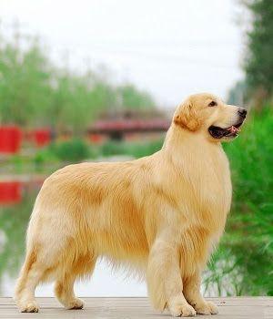 Golden Retriever Golden Retriever Dogs Golden Retriever Dog