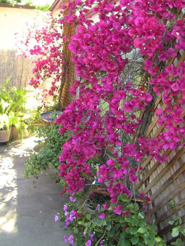 Back Yard Ideas Bougainvillea Summer Plants Plants