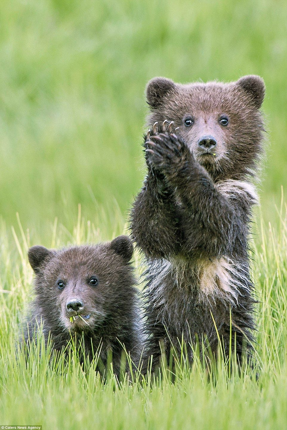 Photo of Peek –a -boo! Bear cubs give the arrival of spring a round o…