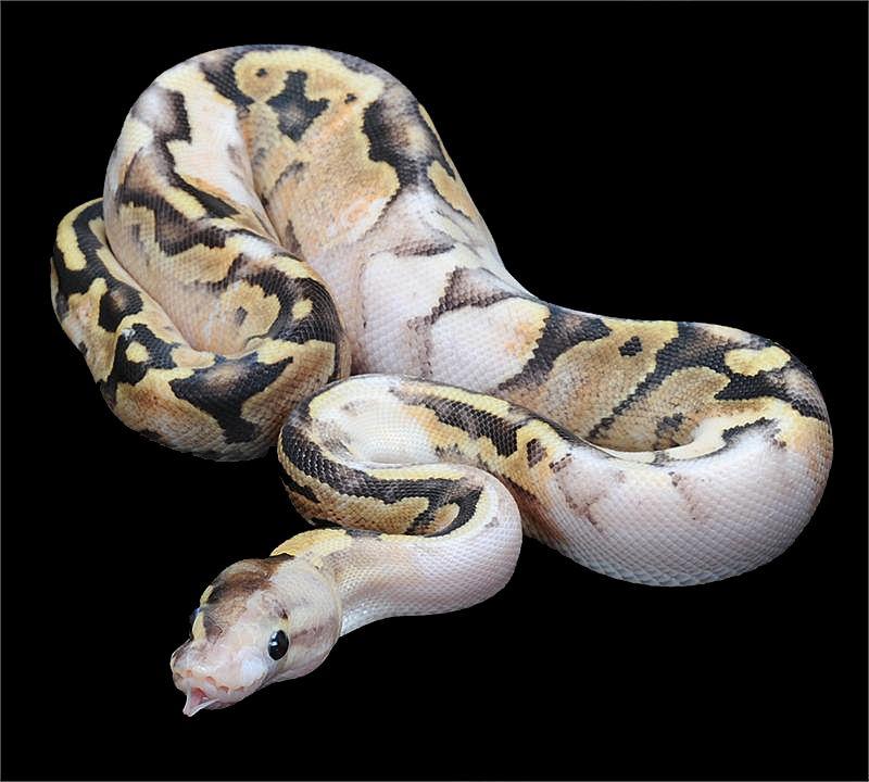 Eclipse Ball Python
