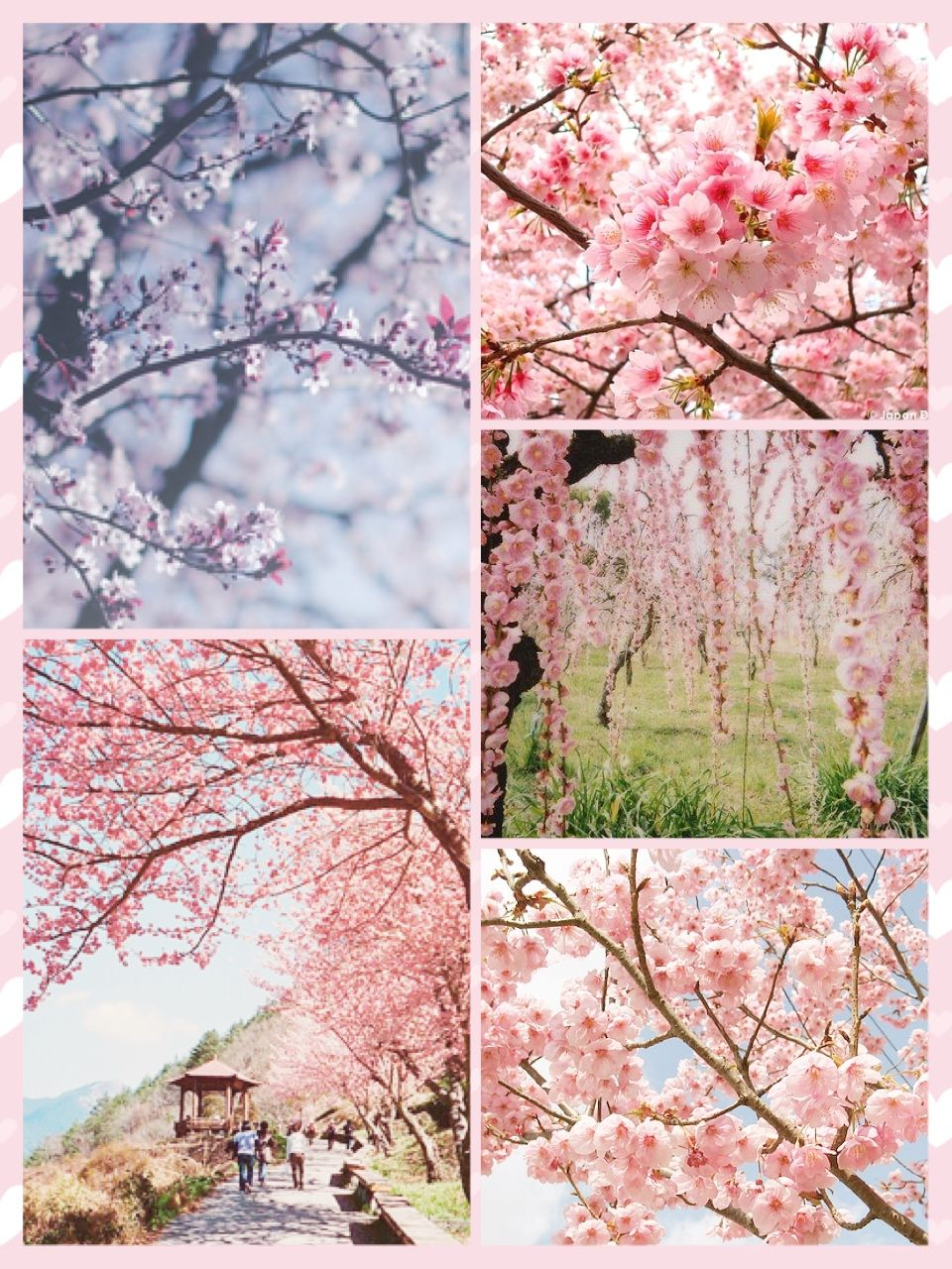 The Many Cherry Blossom Trees Of Japan Aesthetic Pastel Wallpaper Romantic Colors Palette Blossom Trees