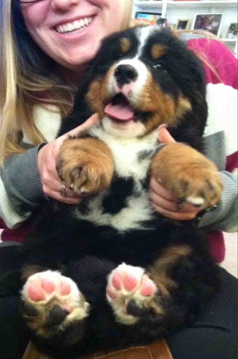 Great Bernese Mountain Dog Chubby Adorable Dog - 4f47c44beb4f741317ac365dedb41ad9  Perfect Image Reference_972347  .jpg