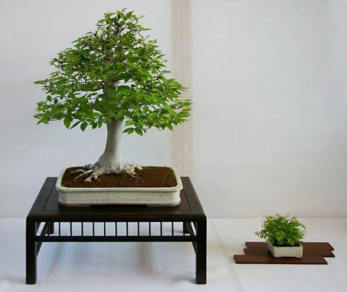 RP:   Carpinus Japonica - Japanese Hornbeam Chokkan (Upright Form)