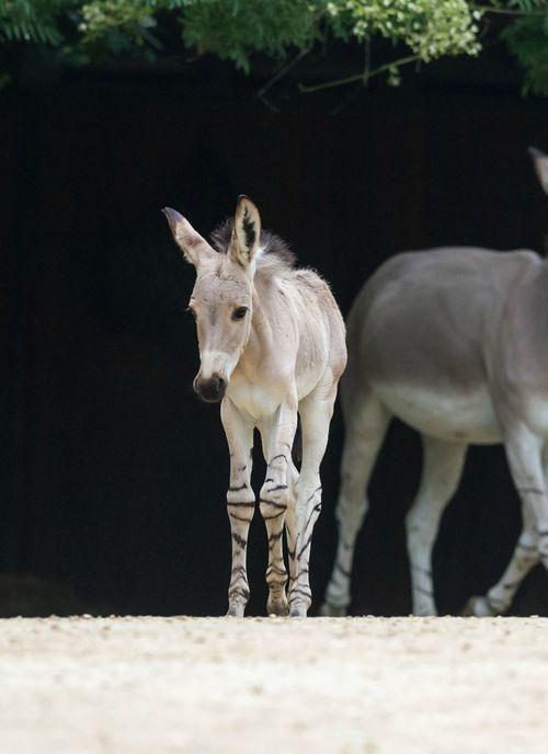 Rare Somali Wild Ass Joins The Herd At Zoo Basel Random Stuff