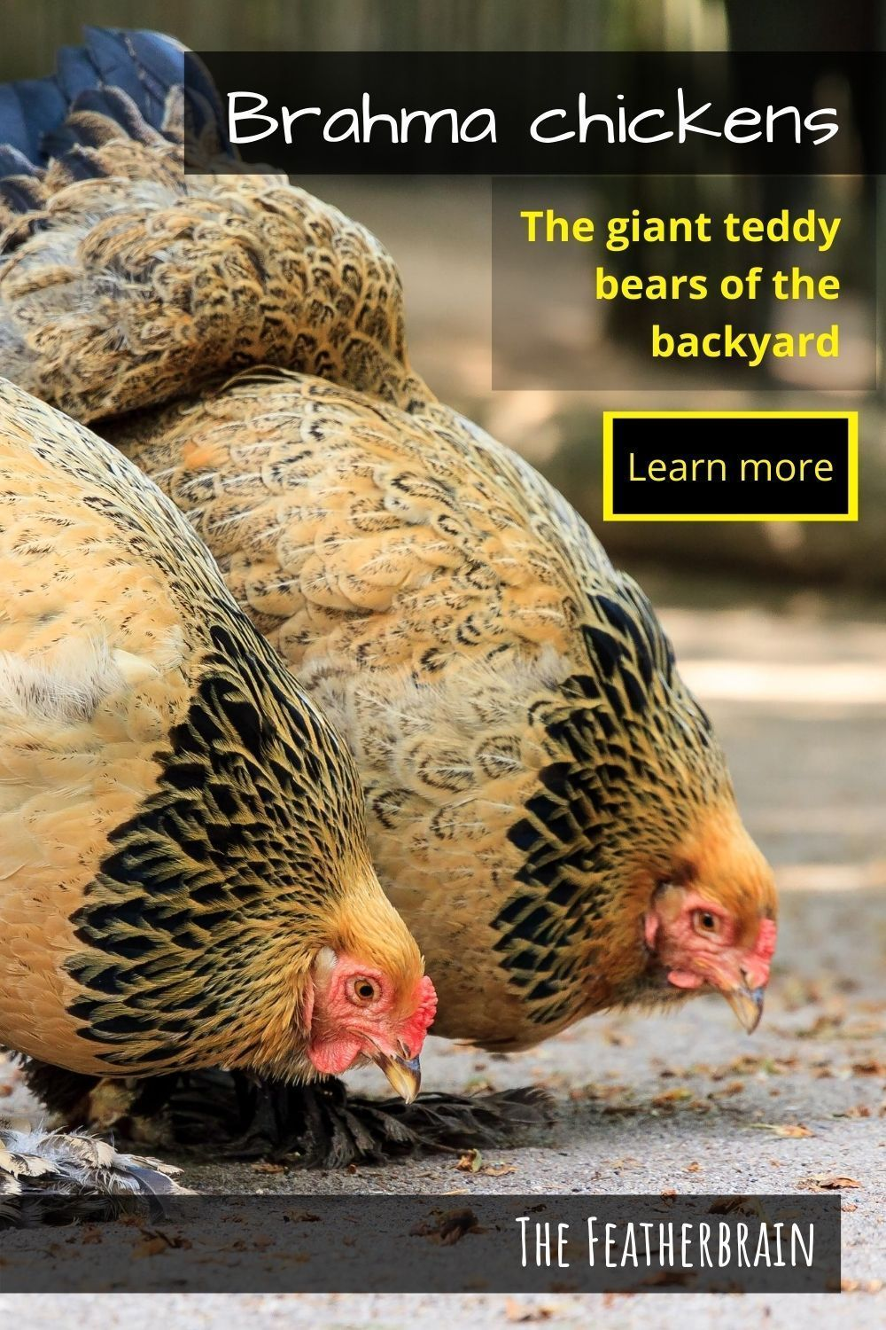 Brahma chickens: The giant teddy bears of the back