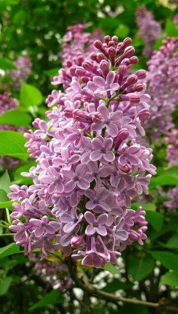 Pin On Flower Lilac