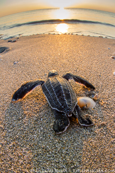 This Baby Leatherback Sea Turtle Begins Its Long Perilous Journey As It Crawls From Its Nest To The Ocean Off Palm Leatherback Turtle Baby Sea Turtles Turtle