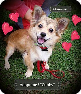 Seattle Wa Pembroke Welsh Corgi Pomeranian Mix Meet Cubby A