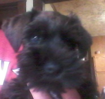 Schnauzer Miniature Puppy For Sale In Wooster Oh Adn 40127 On