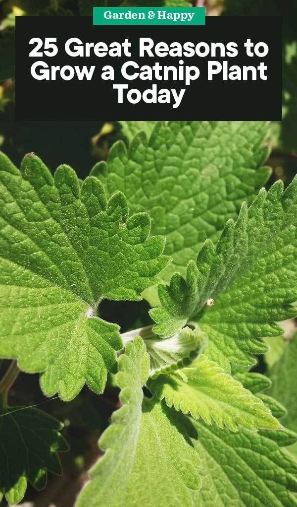25 Great Reasons to Grow a Catnip Plant Today  Garden and Happy #mosquitoplants