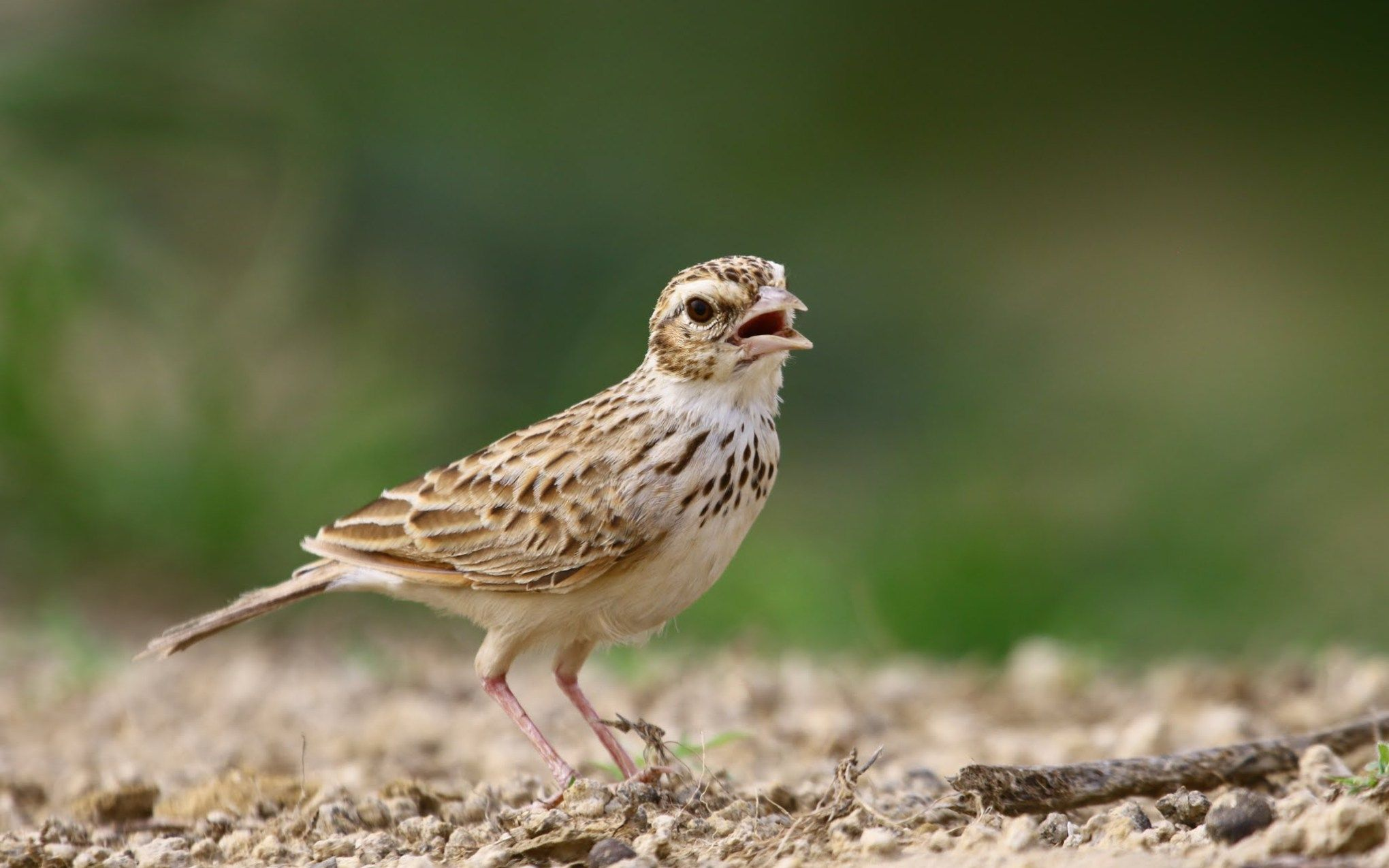 Indian Bush Lark Tiny Bird Download Hd Desktop Mobile Wallpaper And Background Images Ultra Fine Full Digital Art Photography Selling Paintings Still Life Art
