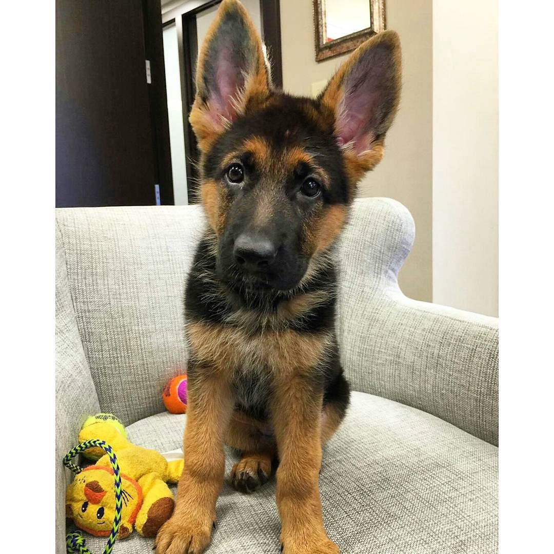 Check the link in my thegermanshepherdworld profile and