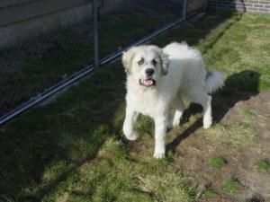 Adopt Beau On Great Pyrenees Dog Great Pyrenees Cute Animals