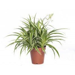 Graslelie/<em>Zebragras</em> (Chlorophytum comosum 'Ocean') D 15 cm
