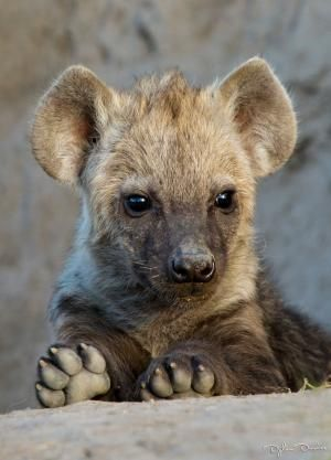 This little hyena cub was playing and running all around a termite mound that is being used as a den site, and eventually sat right near the top of the mound, trying to win over everyone's heart.