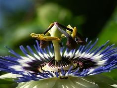Passion Flower Found All Over Israel Symbolizes The Crucifixion Of Jesus Passion Flower Crucifixion Of Jesus Flowers