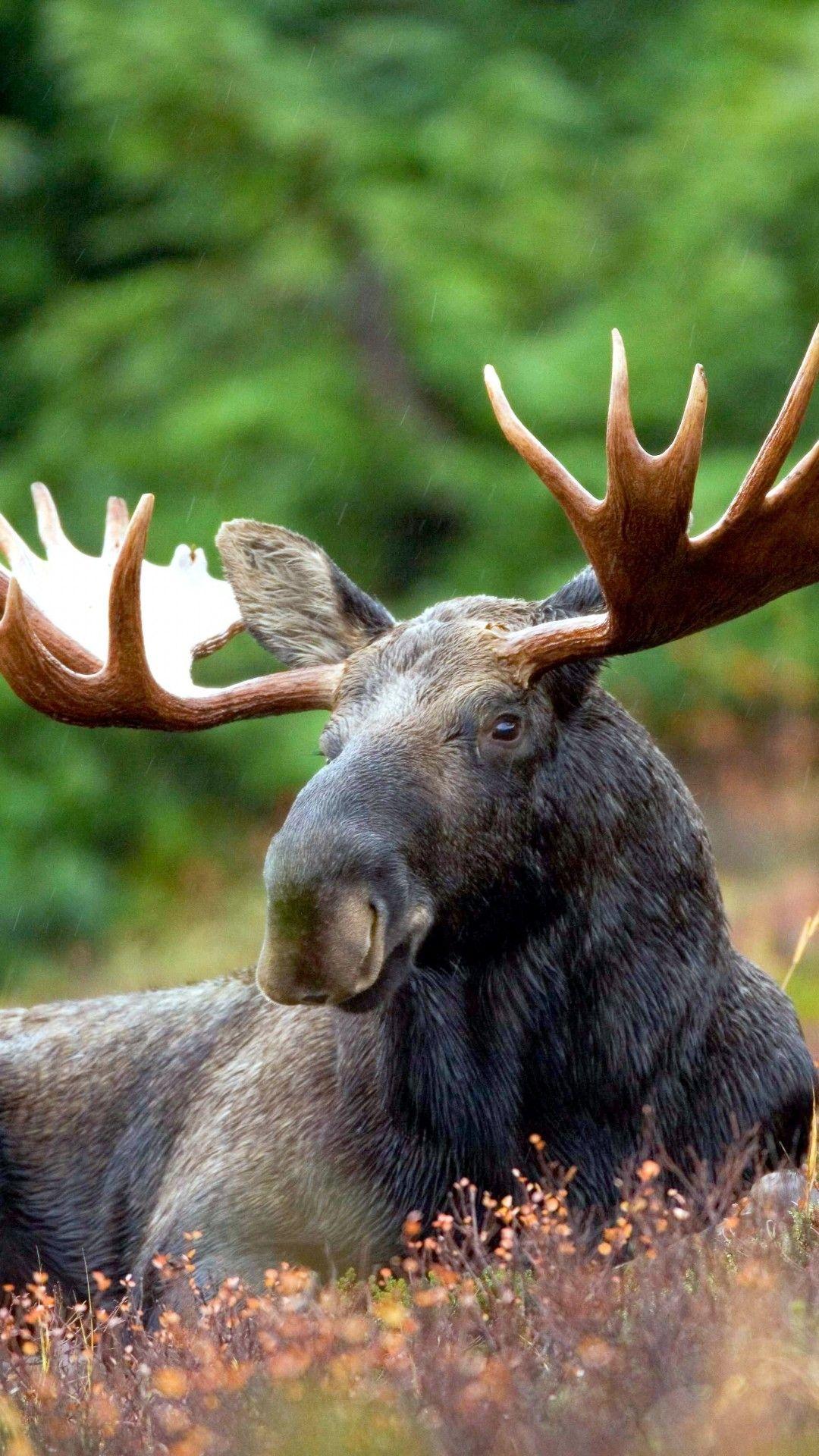 Moose Rest Iphone 6 Plus Wallpaper Hd Wallpapers Animals Animals Beautiful Animals Wild
