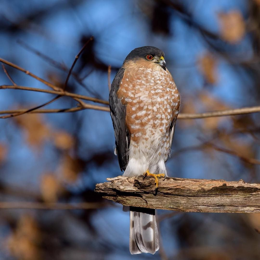 sharp shinned hawks have distinctive proportions long legs short