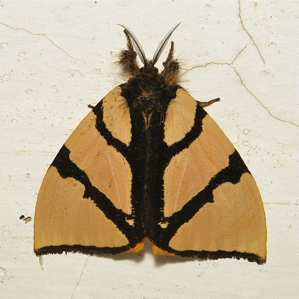 Lymantriine Moth (Numenes Insignis, Lymantriinae, Erebidae