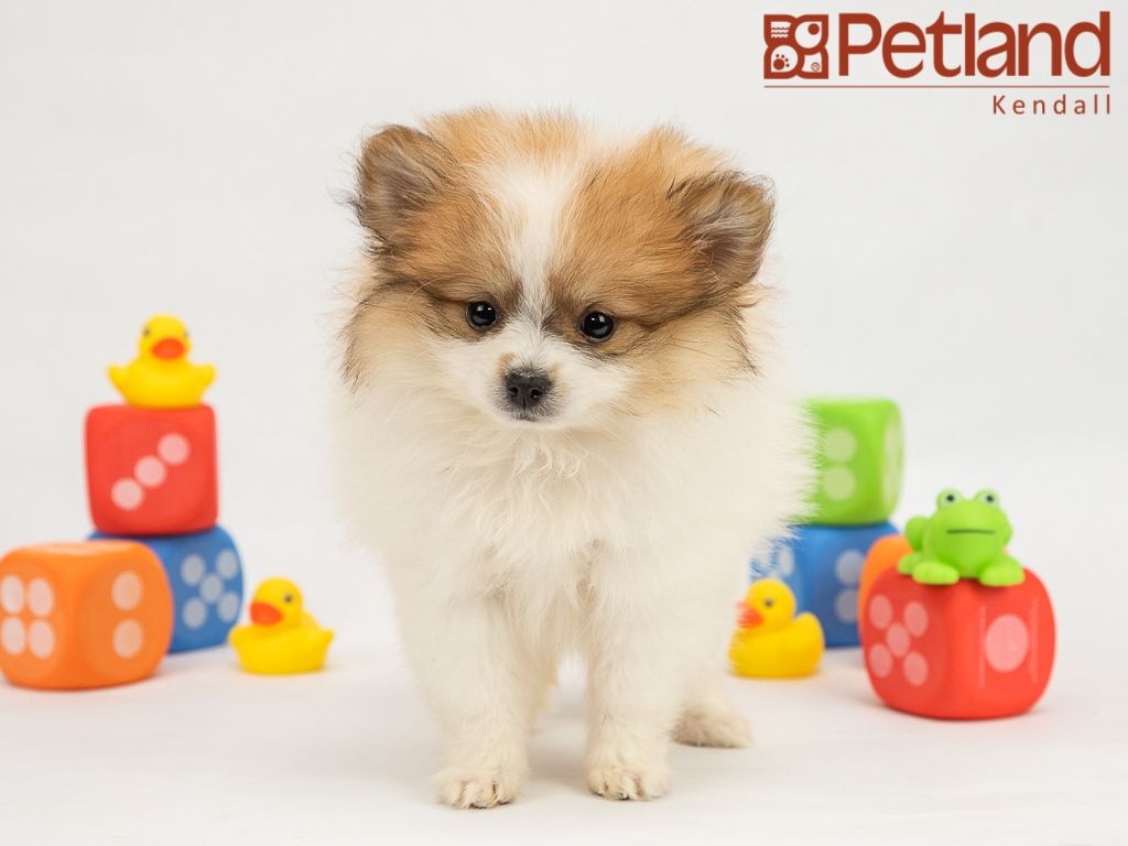 Petland Florida Has Pomeranian Puppies For Sale Interested In Finding Out More About This Breed Chec Pomeranian Puppy For Sale Puppy Friends Puppies For Sale