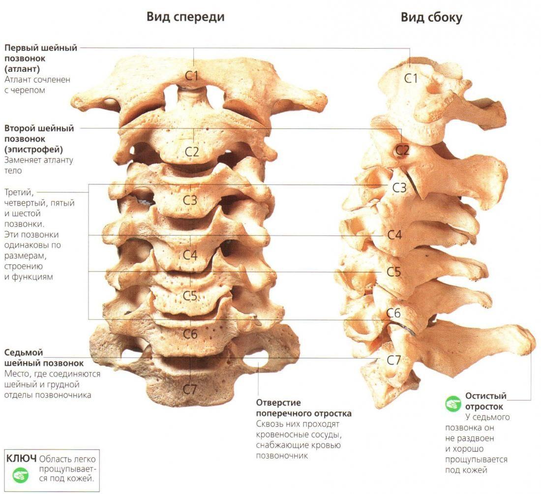 шейный отдел позвоночника | позвоночник | Pinterest | Anatomy