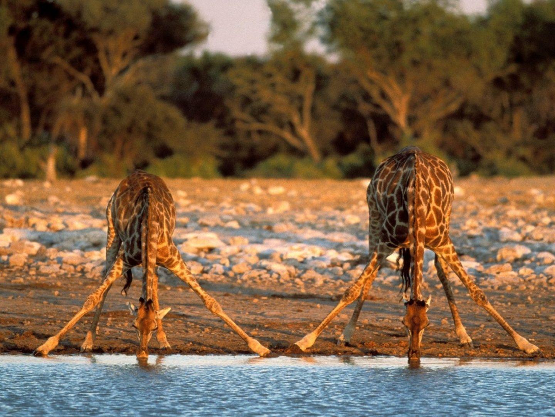 美しい 川の水を飲んで2キリン 動物 高解像度で壁紙