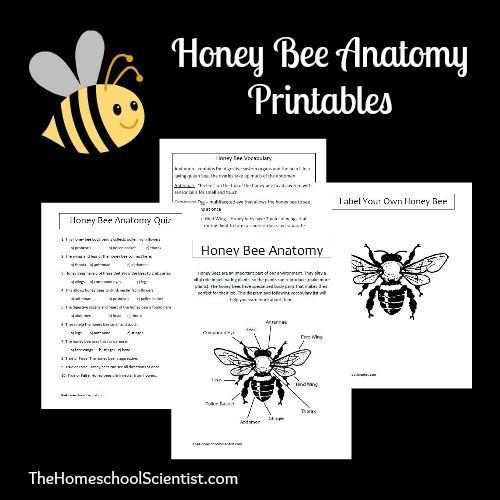 Honey Bee Anatomy Printable Lesson | Estudios