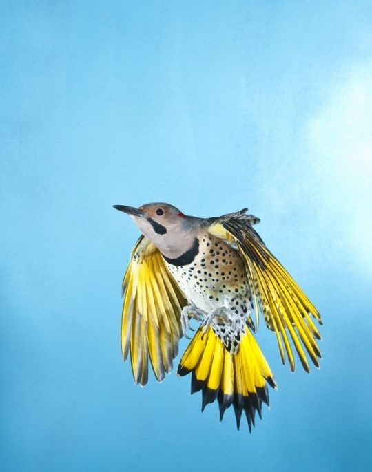 The Best of National Geographic - Northern Flicker in ...