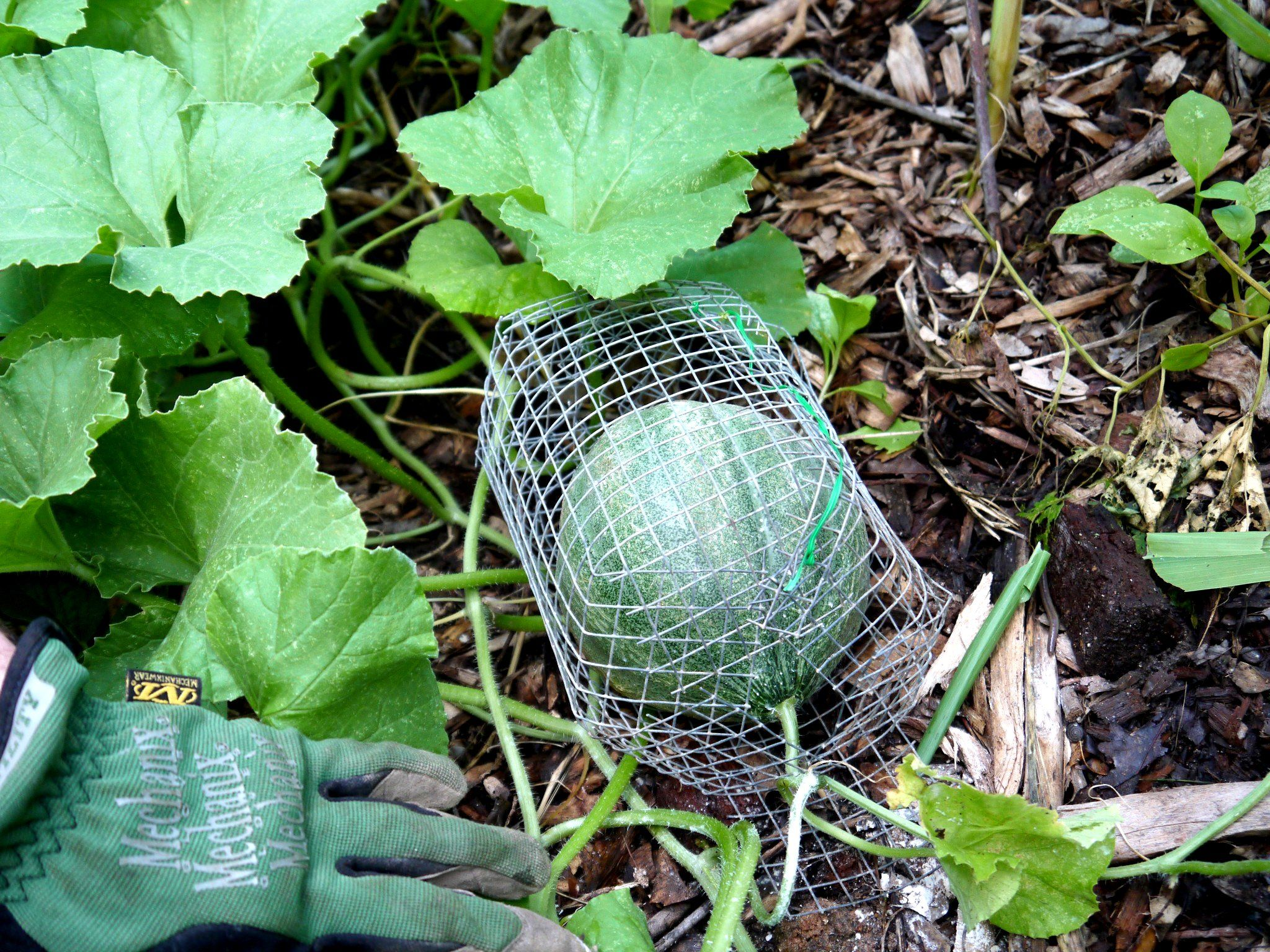 Melon cage how to keep squirrels and rabbit from eating - How to protect vegetable garden from animals ...