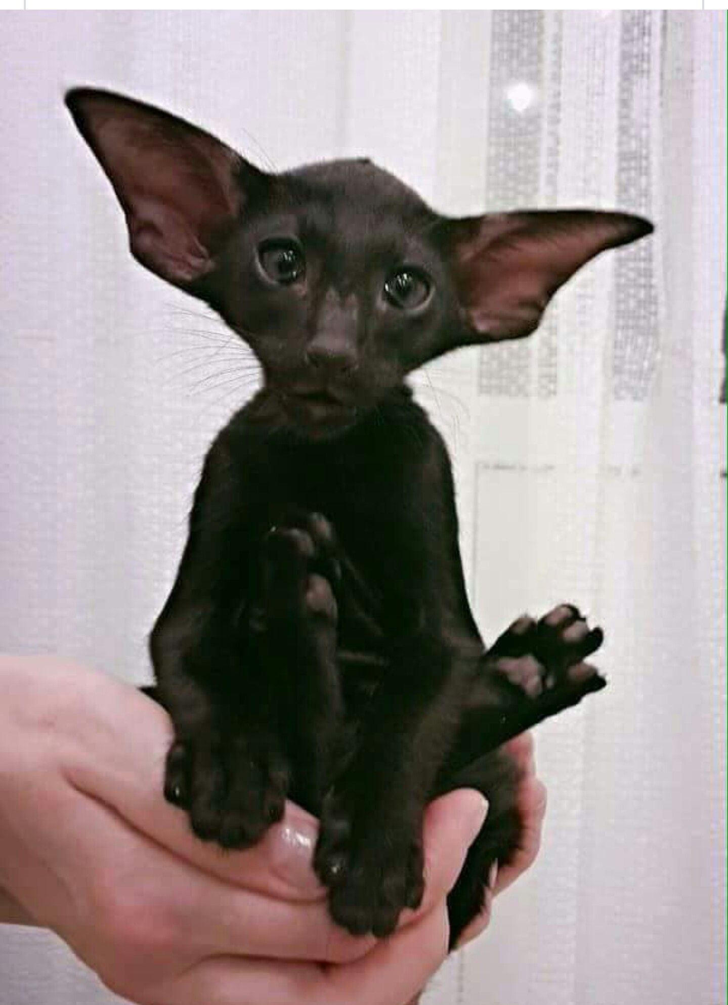 Kind of looks like a cross between a kitty and a bat but