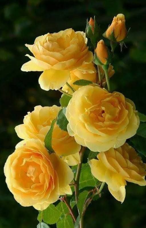 Pin by va on szp rzsk pinterest flowers yellow flowers pinterest flowers yellow flowers and yellow roses mightylinksfo