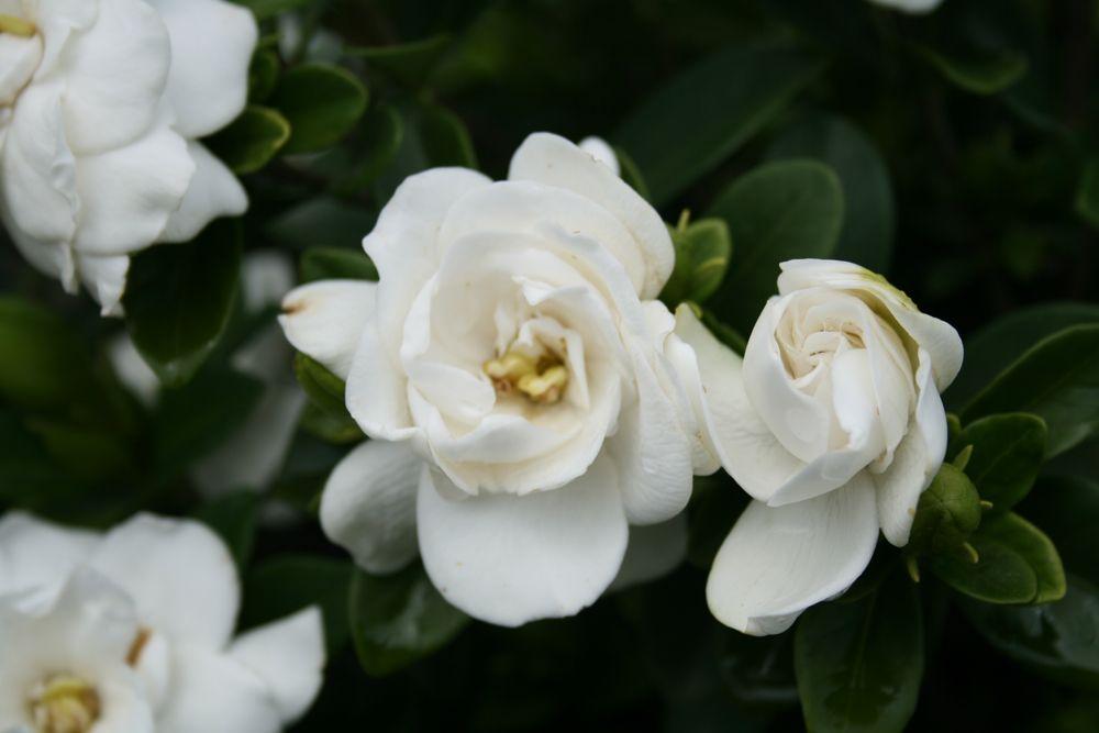 Gardenia Crown Jewel 067 Web Beautiful Flowers Garden