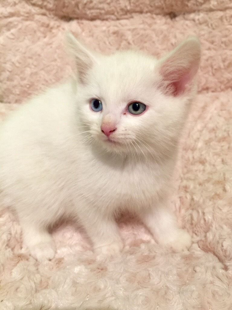 Stunning Ginger And White Kittens In Wanstead London Gumtree Kittens White Kittens Cute Animals