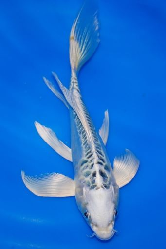 This One Is Almost A Pure White Koi Fish Pet Pure Products