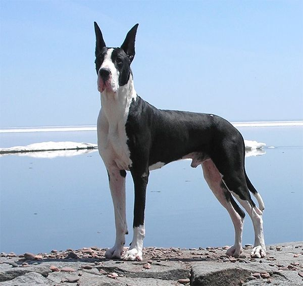 Ch Bmw Windrose Mazel Tov Great Dane Dane Dog