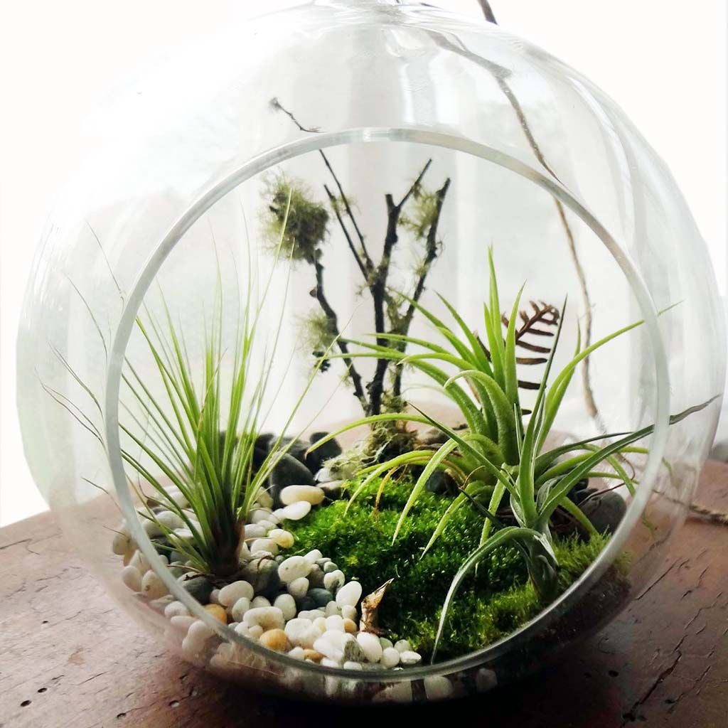 Woodlands Air Plant Terrarium Kit, Large Air plants