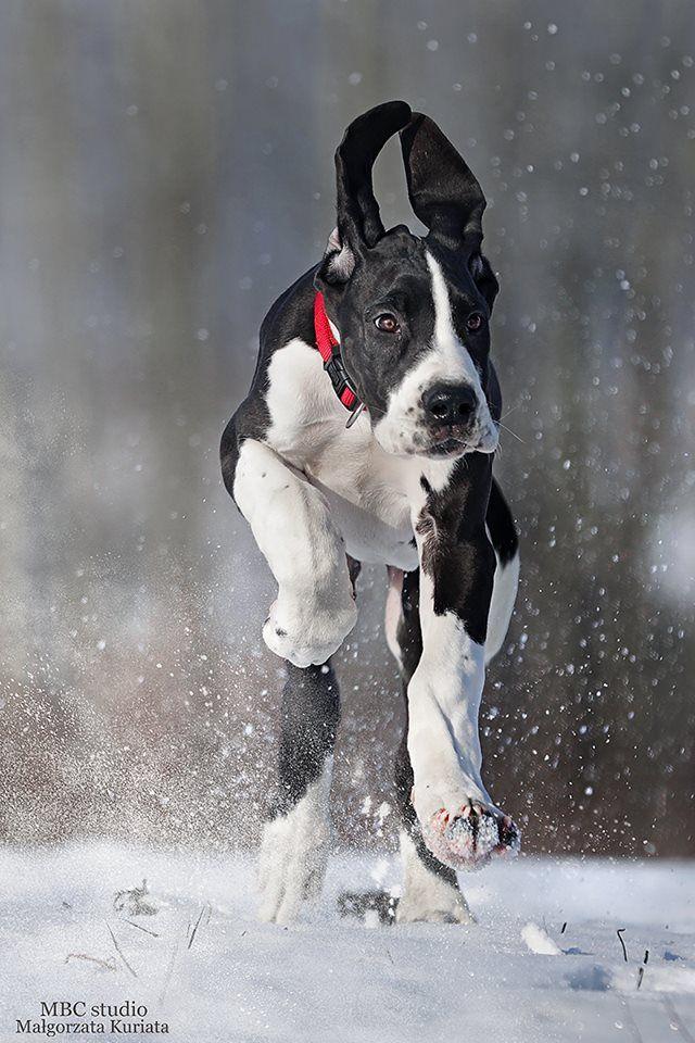 3 Month Old Black Mantle Great Dane Puppy Great Dane Dogs Dane