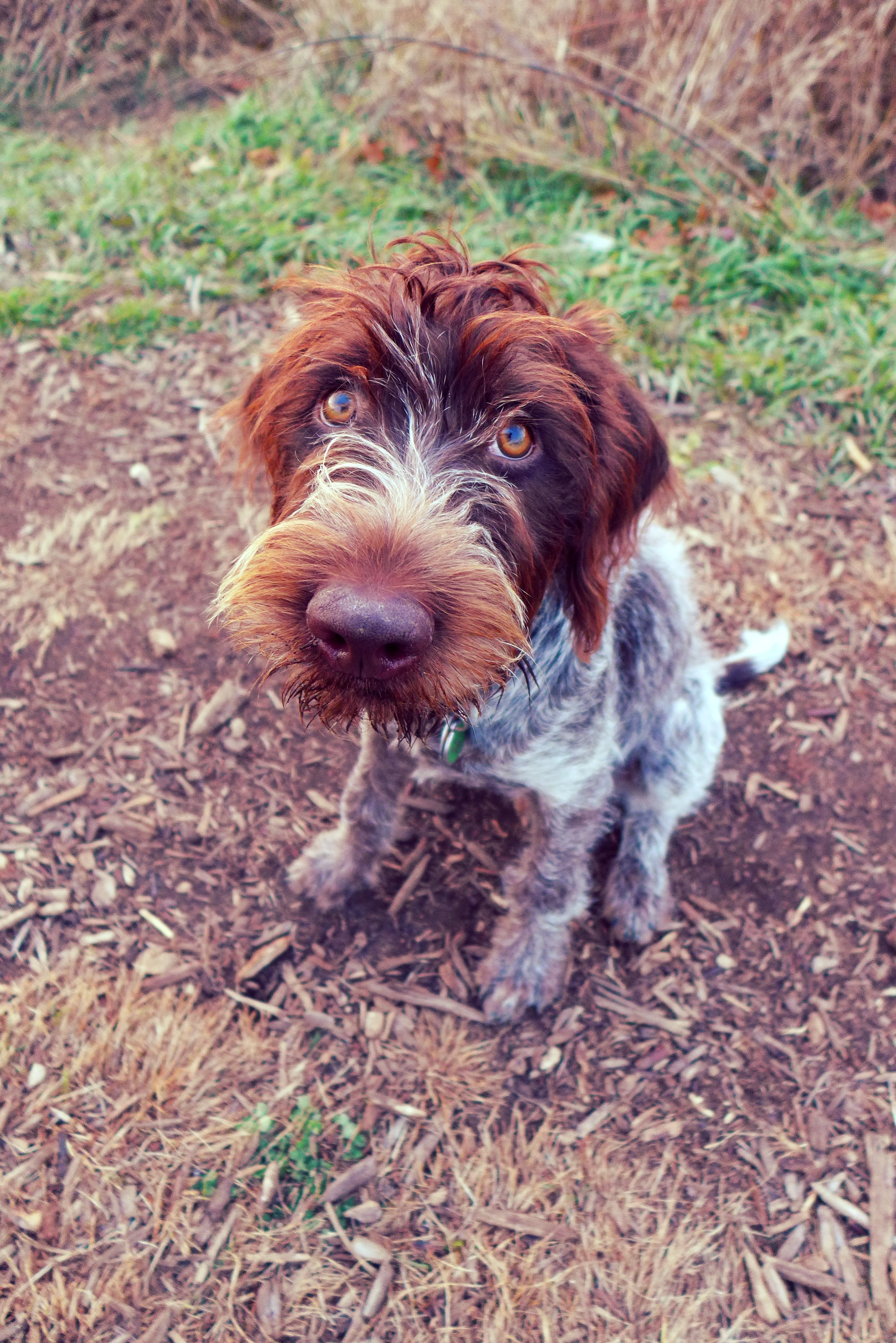 Wirehaired Pointing Griffon. Indy, after a 2 hour walk. I think he's ready to go home. =P (11/10/14)