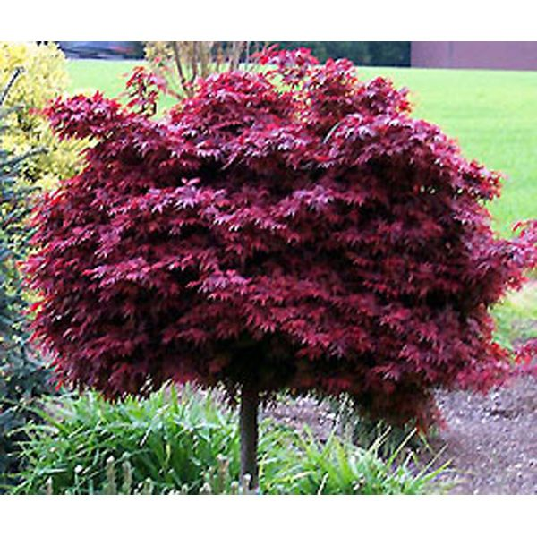 Acer Shaina Japanese Maple On My List For Color And Just Love