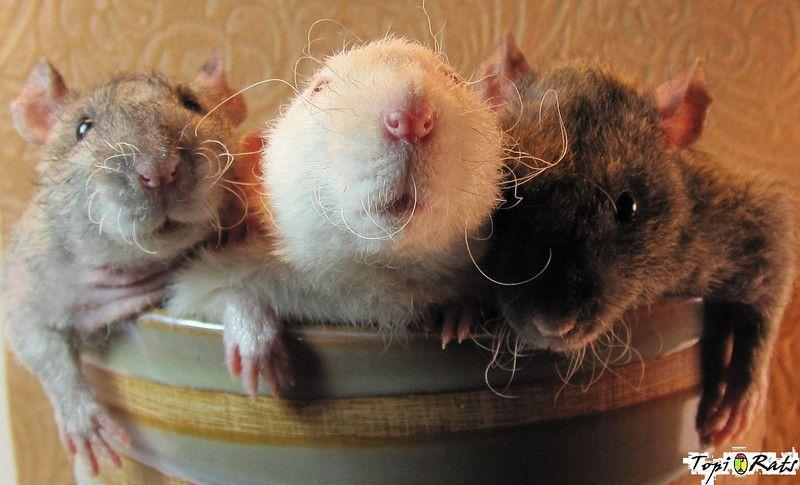 Rats Are Beautiful Joinrats Fluffy Stuffed Animals Rats Pet Rats