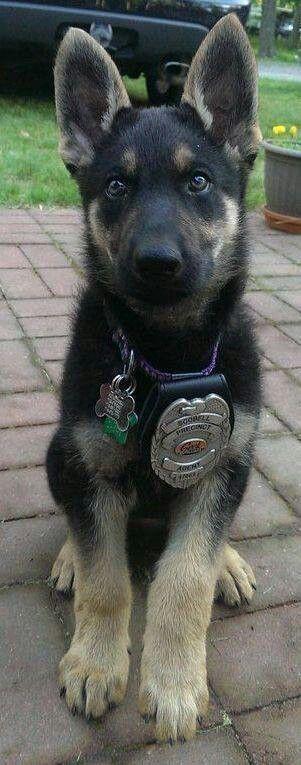 German Shepherd Police Puppy Puppies, Dogs, Animals