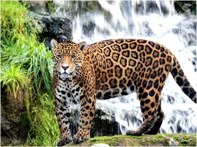Facts About Jaguar Interesting Amazing Information On Jaguars Jaguar Animal Animals Beautiful Animals