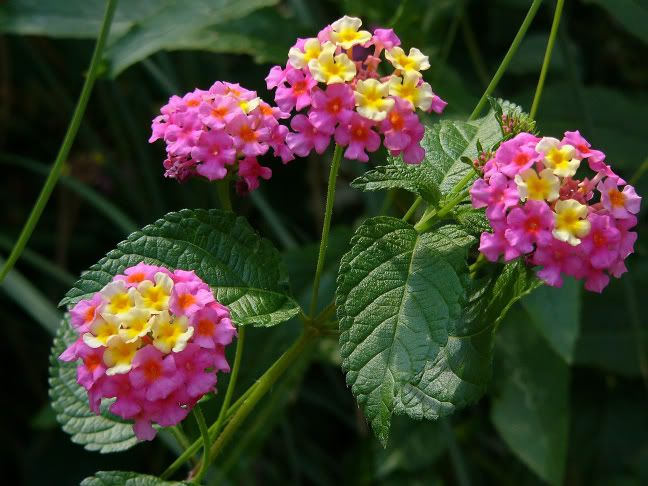 Miss Huff Lantana I Have This One It S Beautiful Lantana Flowers Landscape Design