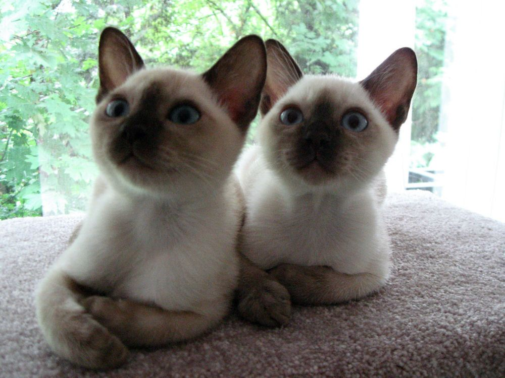Tonkinese Pictures Information Training Grooming And Kittens Kitten Breeds Tonkinese Kittens Tonkinese Cat