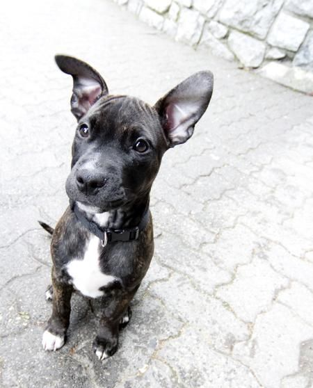 Shepherd Pit Puppy Pitbull Mix Puppies Pit Puppies Diy Dog Costumes