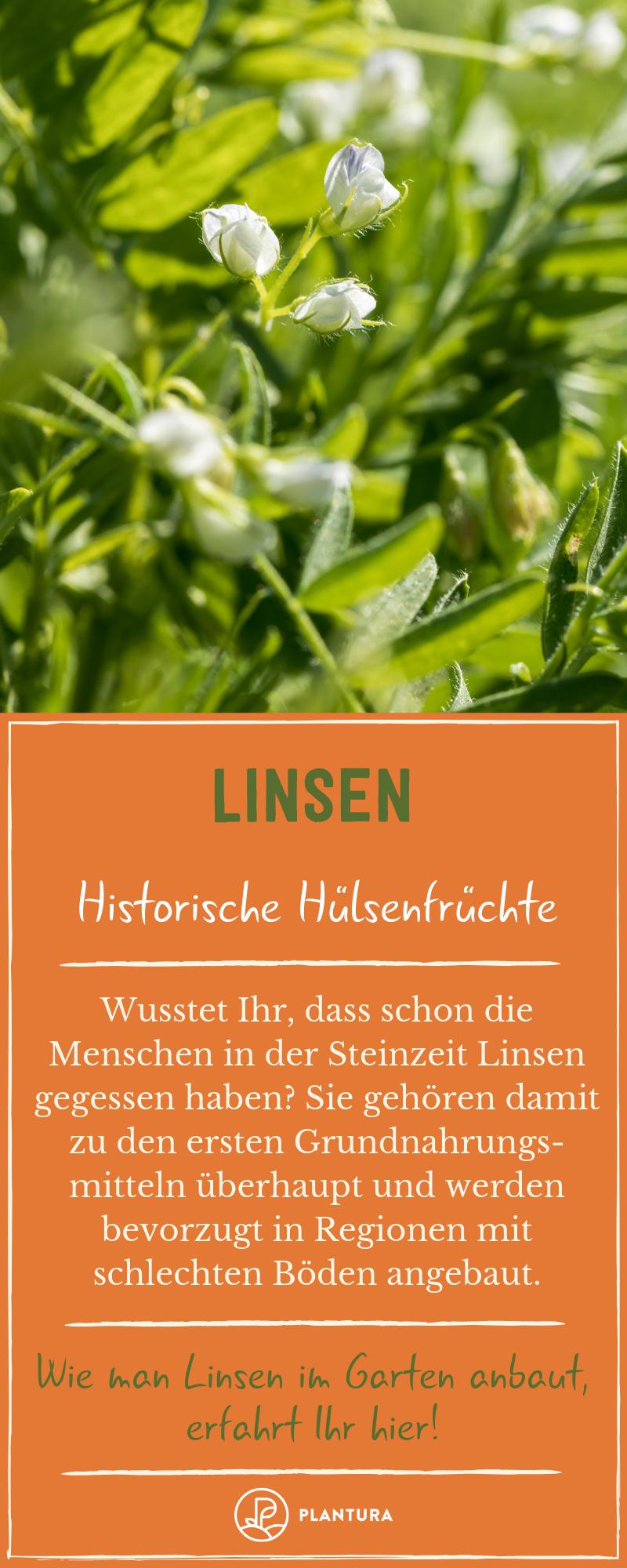 Linsen Profi Tipps Zu Anbau Pflege Ernte Des Gesunden Gemuses Plantura Linsen Gemuse Pflanzen Pflanzen