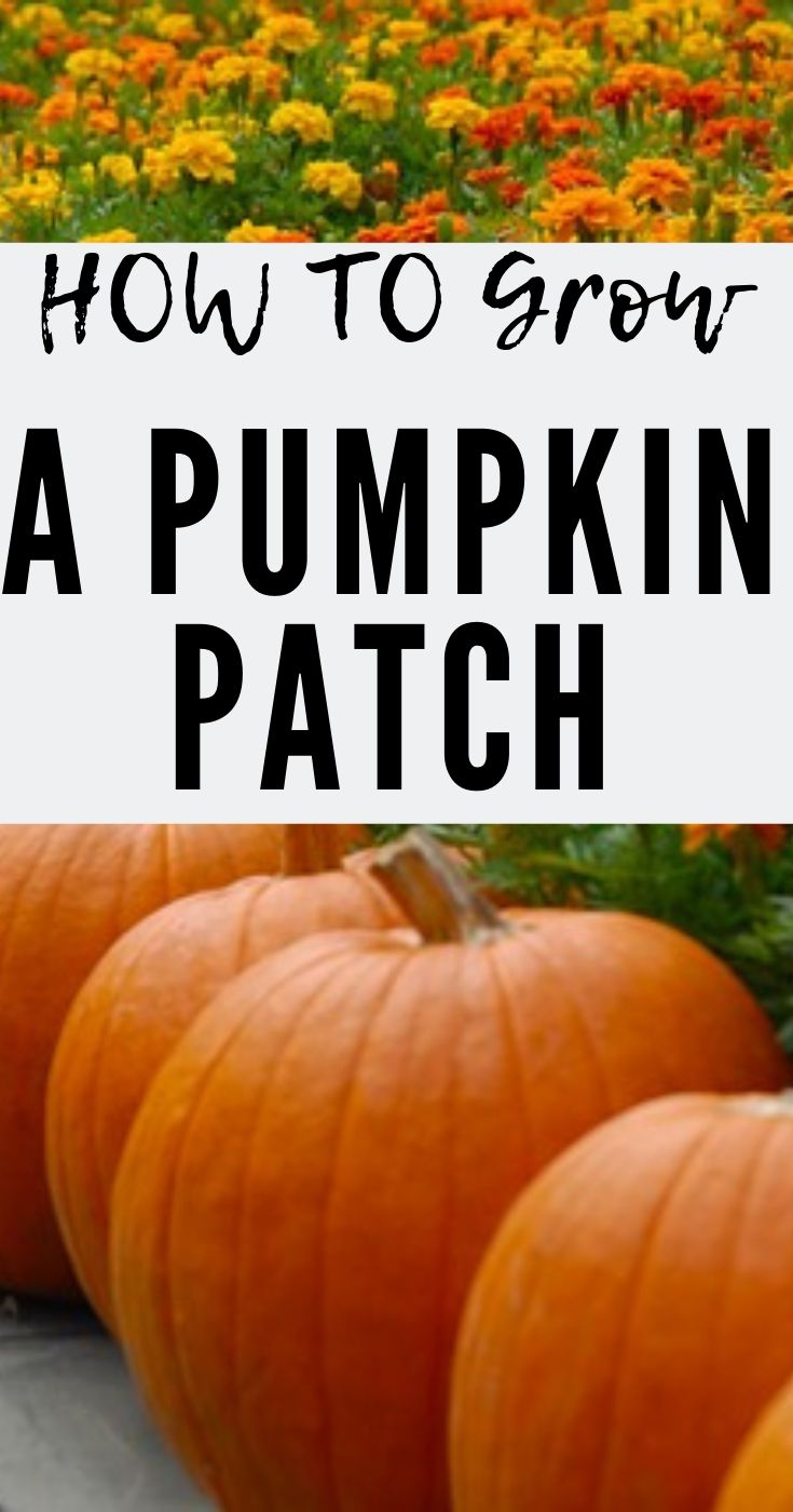 How To Grow A Pumpkin Patch In Your Yard #pumpkinpatch