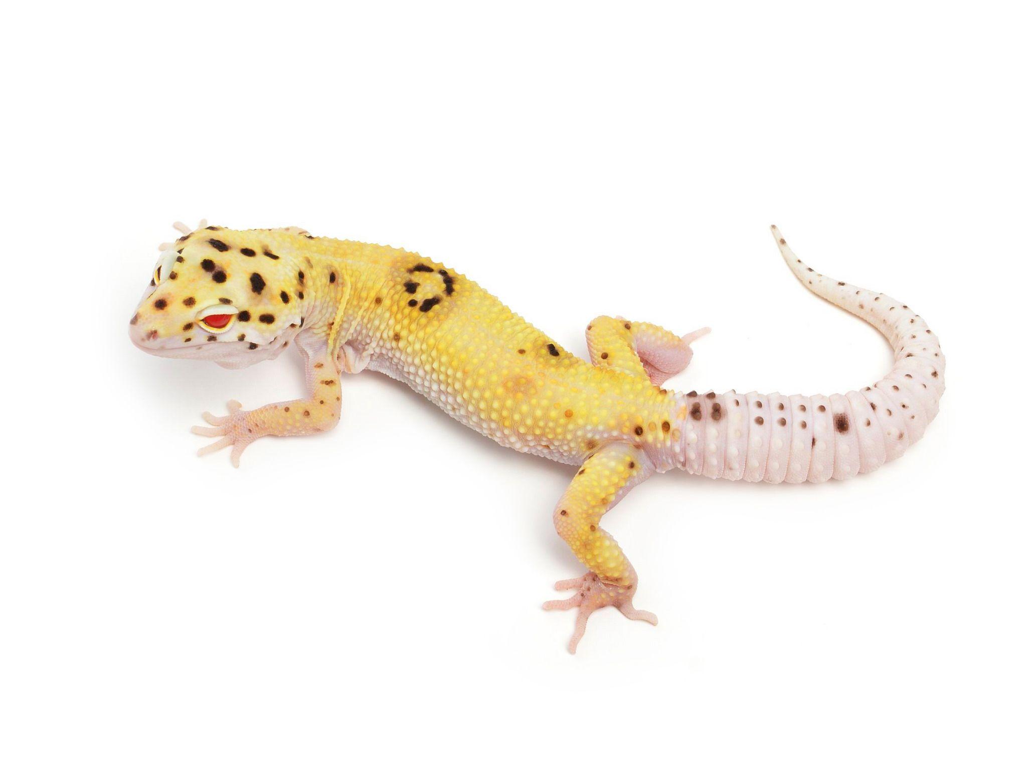 RADAR Enigma | Leopard Geckos | Leopard Geckos | Pinterest