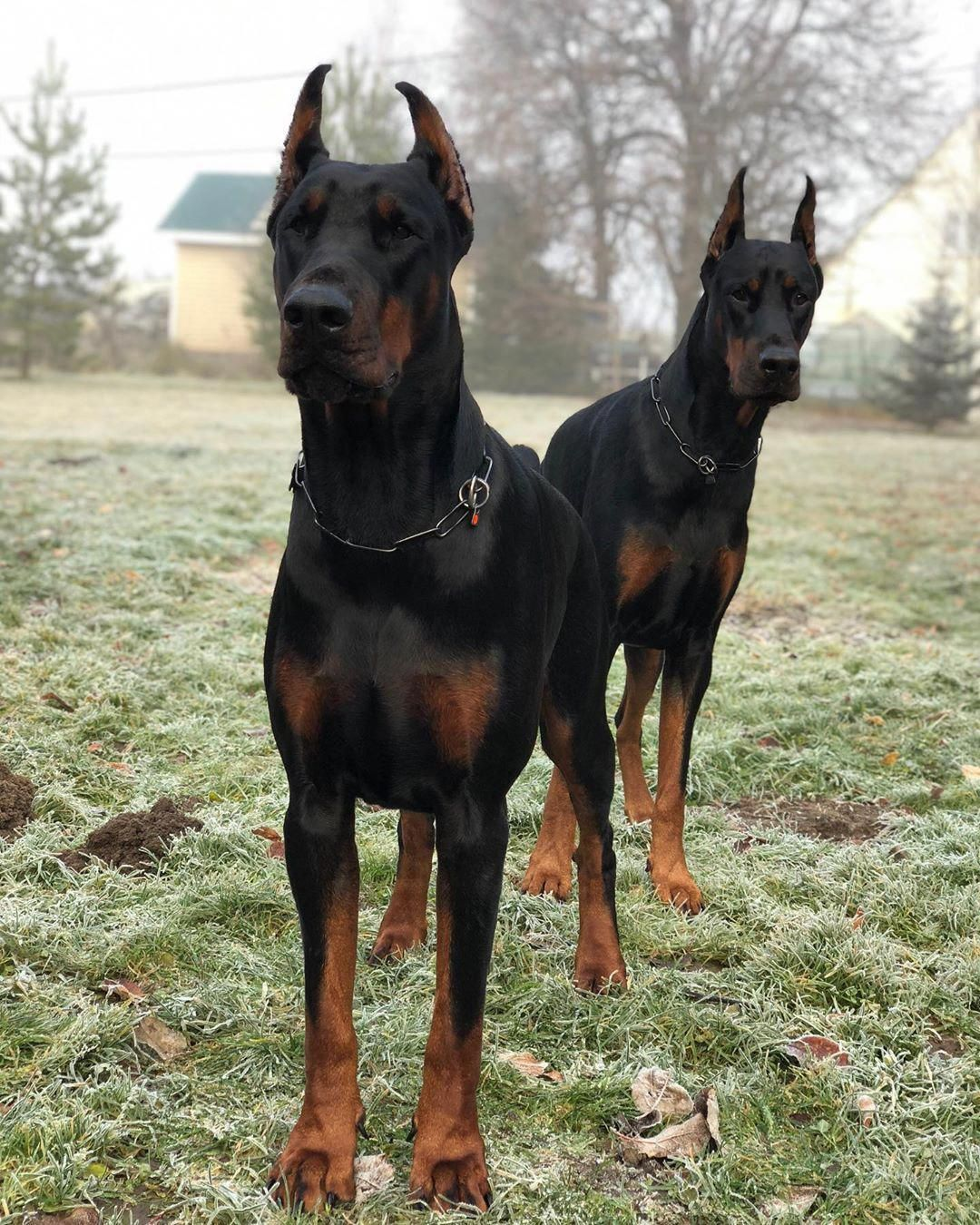 All The Things We Adore About The Fearless Dobermans Puppies