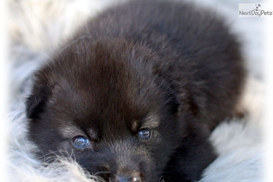 The Best Wolf Dog Puppy We Have Ever Offered Wolf Hybrid Wolf Dog Puppy Wolf Hybrid Puppies